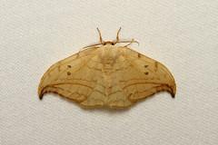 Drepana arcuata (Arched Hooktip) Hodges # 6251 - WA, USA