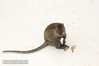 Monkey feeding at Monkey beach, Phi Phi island, Thailand, 31 december 2016 | by Phuketian.S