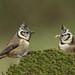 Herrerillo capuchino - Lophophanes cristatus by rio en medio - Jose On/Off