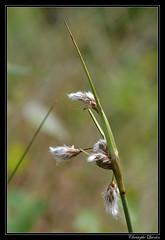 Linaigrette à feuilles étroites (Eriophorum angustifolium) - Photo of Tintry