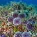 Ibiza - Sphaerechinus granularis