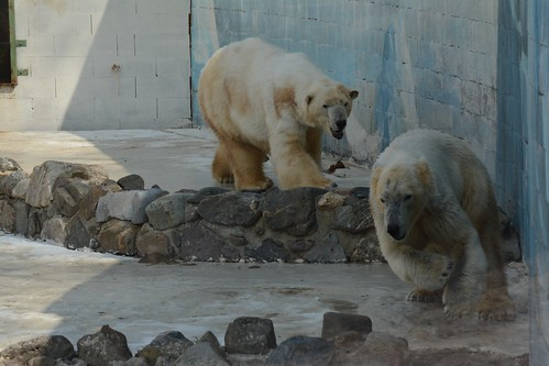Eisbären Blanche und Qannik  in der Monde Sauvage Aywaille