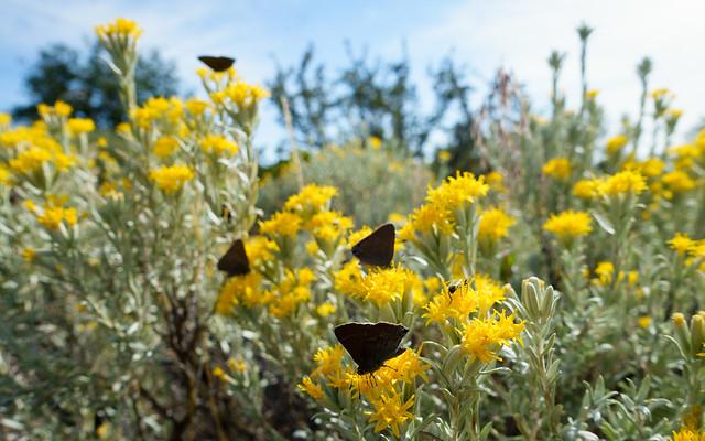 Butterflies on daisy bush