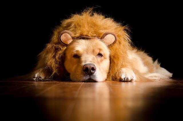 Lion Henry
