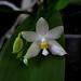 phalenophis bellina white x pulchra alba by zet11