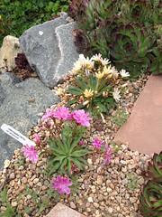 Lewisias in bloom