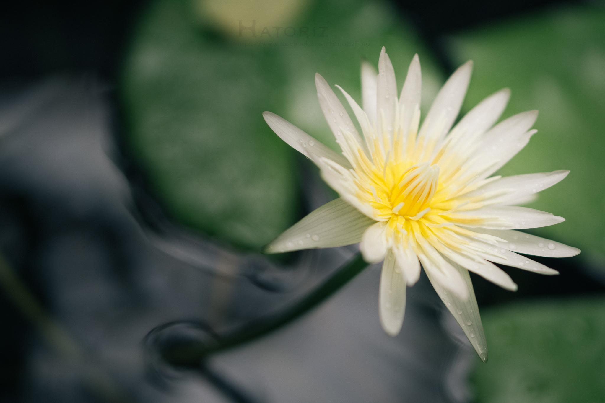 Lotus in koi pond flickr photo sharing for Koi fish pond lotus