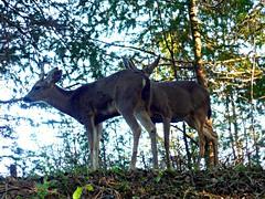 Mule deer on UC-Santa Cruz campus