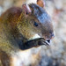 Small photo of Agouti Eating