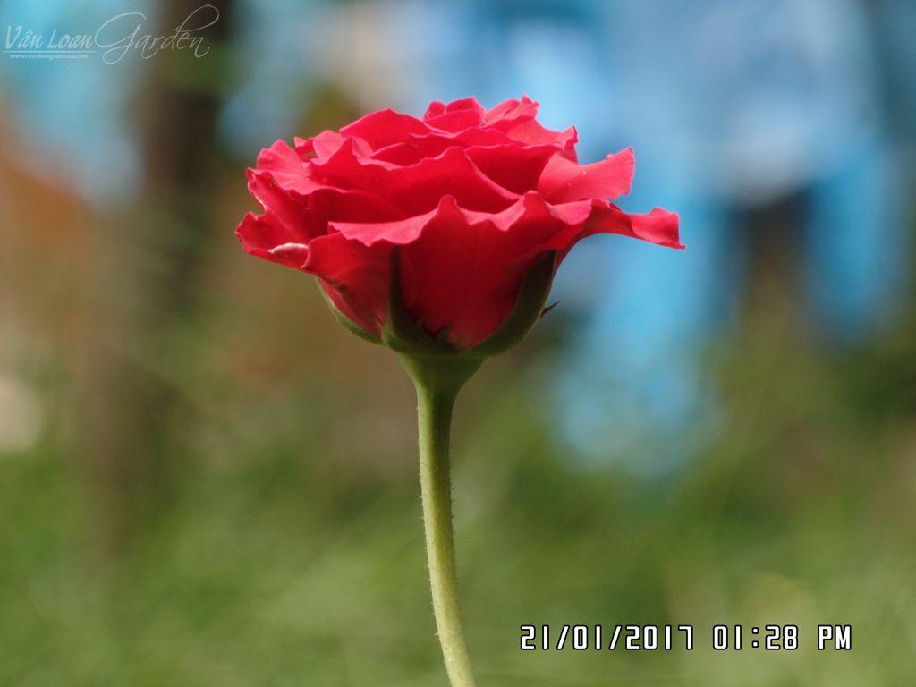giam canh da lat mua tu shop hoa (12)-vuonhongvanloan.com