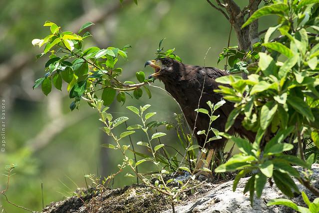 Aguililla Negra Menor - Common Black Hawk