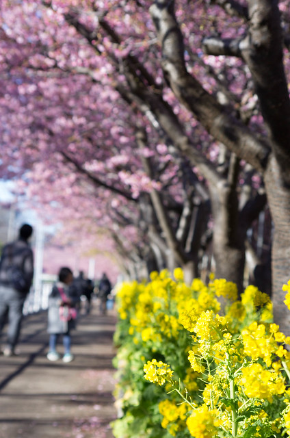 Photo:菜の花と河津桜