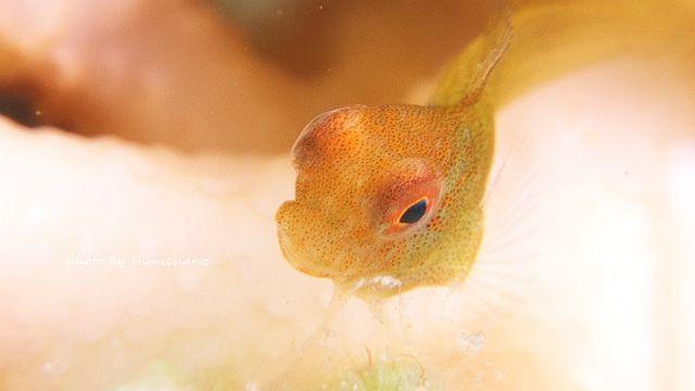 インドカエルウオ幼魚