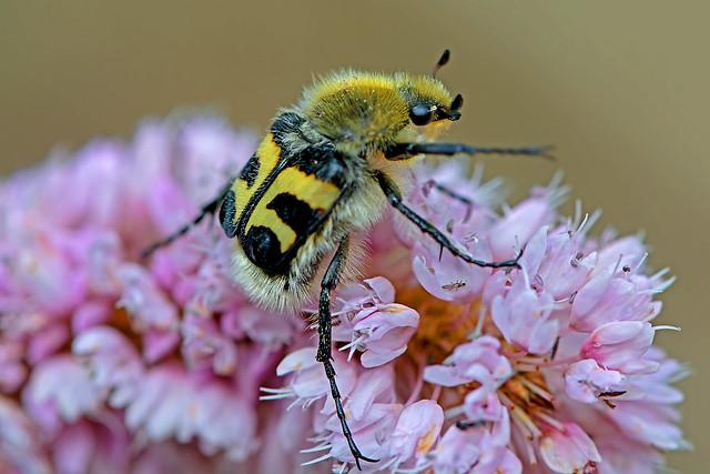 Trichius fasciatus - the Bee Beetle