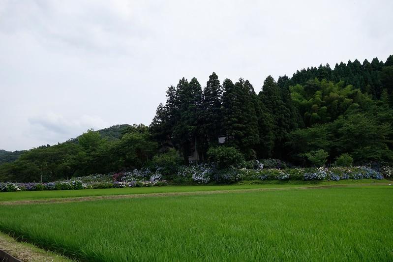金沢 紫陽花寺 本興寺