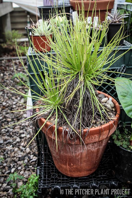 Drosophyllum lusitanicum