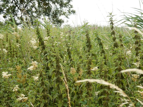 Nettles and meadowsweet