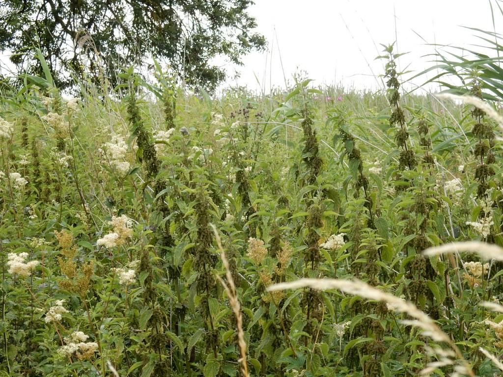 Nettles and meadowsweet Huntingdon Circular (long)