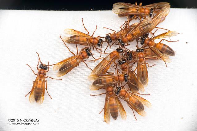 Hornets (Provespa sp.) - DSC_4056