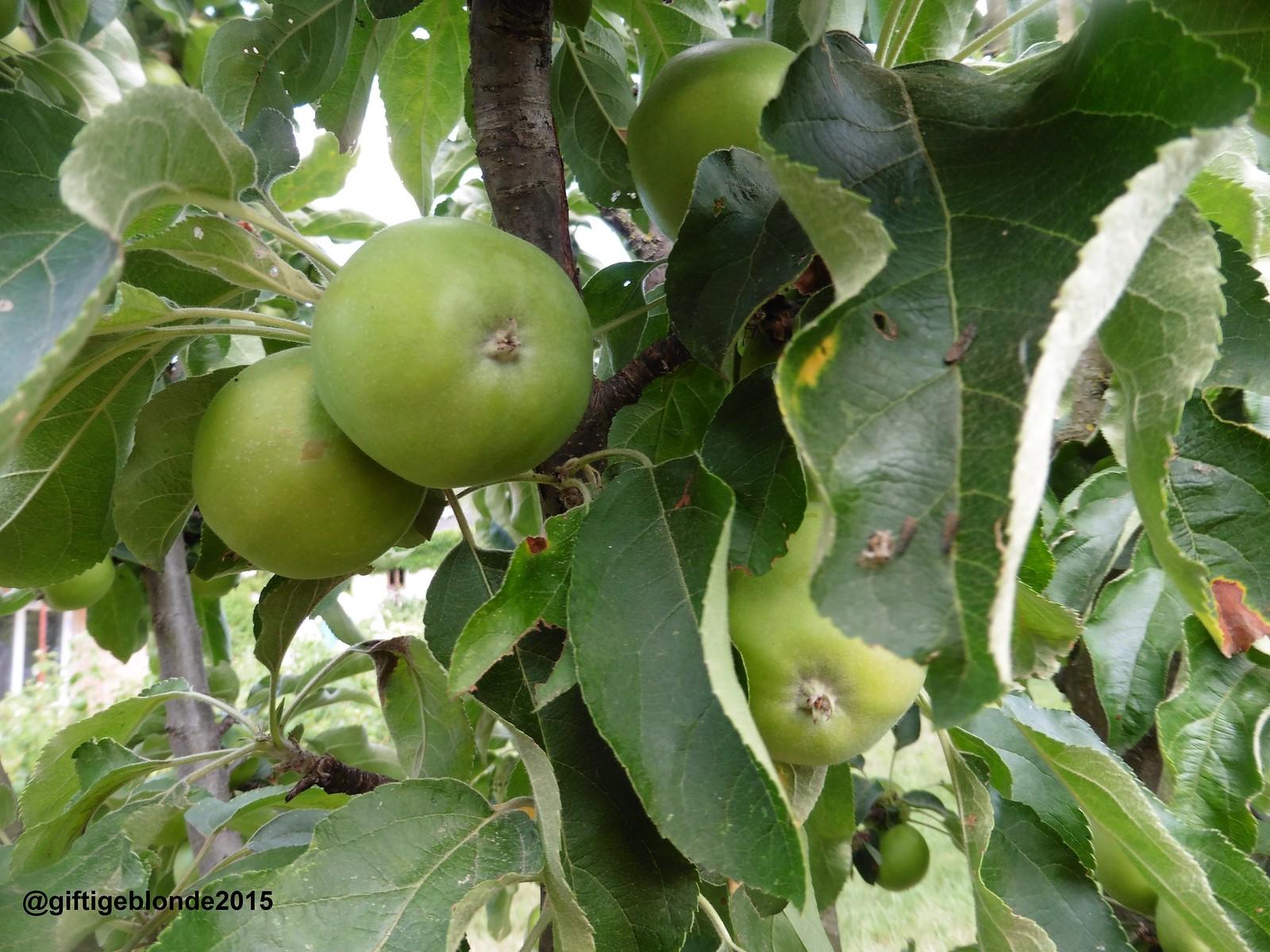 Äpfel, Juli 2015