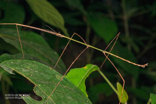 Stick insect (Phasmatodea) - DSC_5668