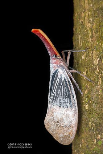 Lantern bug (Pyrops sultanus) - DSC_5639