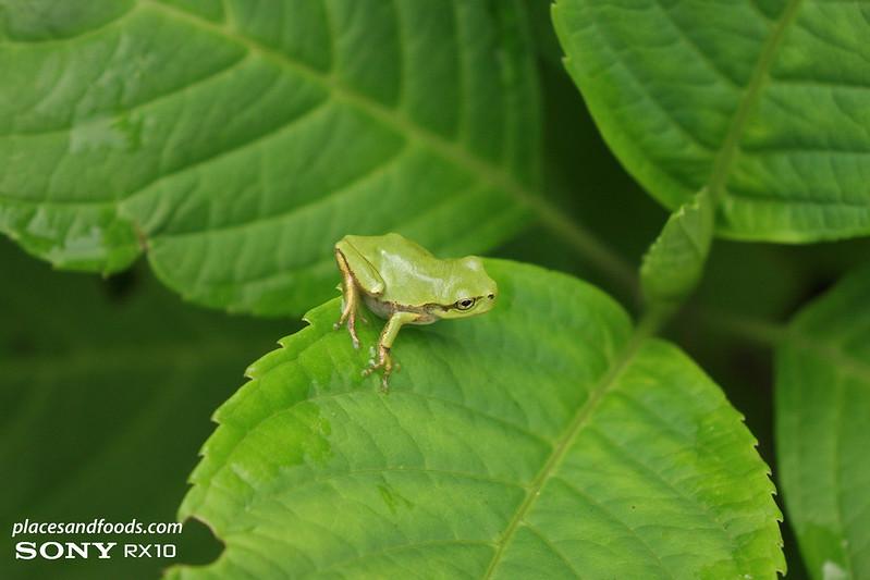 akita small frog