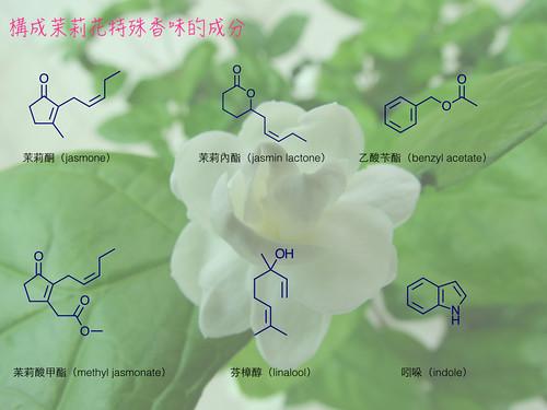 構成茉莉花特殊香味的成分。圖片攝影:王升陽。