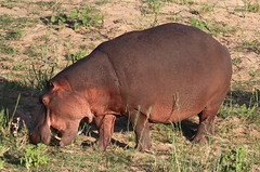 Common hippopotamus, Hippopotamus amphibius, at Letaba, Kruger National Park, South Africa