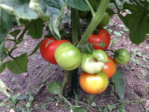 First ripe tomatoes at the Tomato Annex!