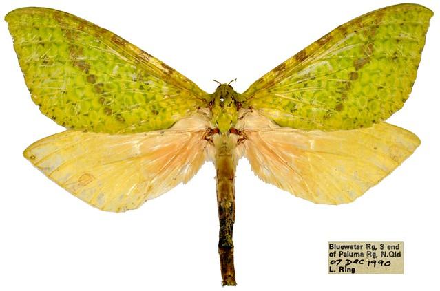Aenetus mirabilis, female