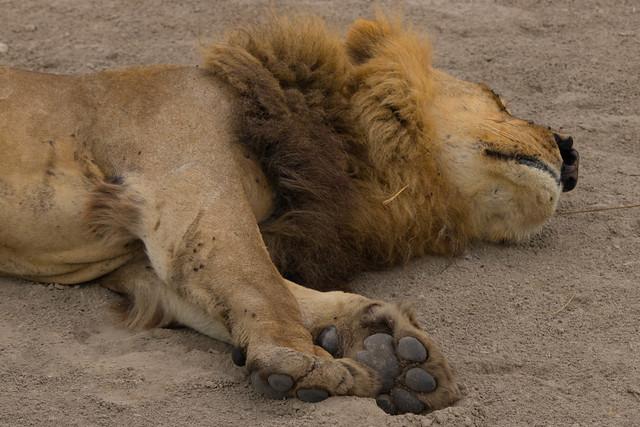 Lion chin!