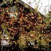 Bright leaves against dark shingles, 1/10/17