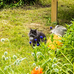 Il gatto Norvegese