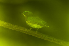 Palawan Blue-Flycatcher - Palawan - Philippines_H8O0828