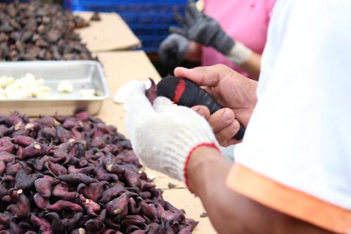 種菱角採收與「剝仁」勞力需求高,特別是採收時,因以農地耕種,大多採跪姿,相當辛苦。