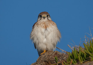 nankeen kestrel (Falco cenchroides)-7506 | by rawshorty