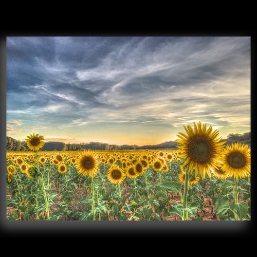 Que bien que de esta paseando por el pueblo #girasoles #sunflower #sunset #Masegosodetajuña #guadalajara  #atardecer #lanscape