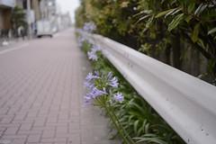 guardrail agapanthus