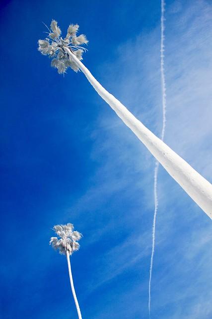 White Palm Trees