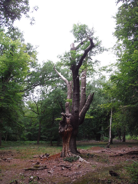 Ancient Pollarded Tree in Burnham Beeches
