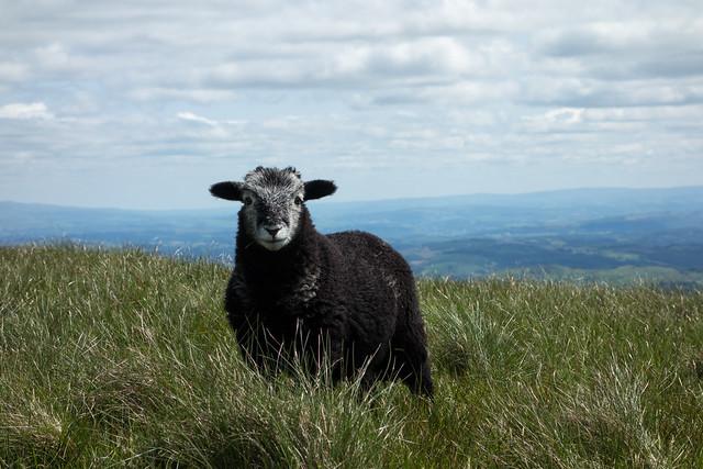 A sheeps