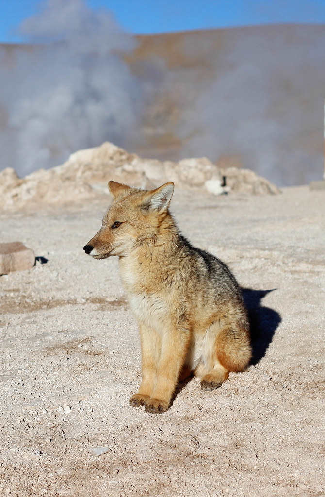 Fox at El Tatio 1