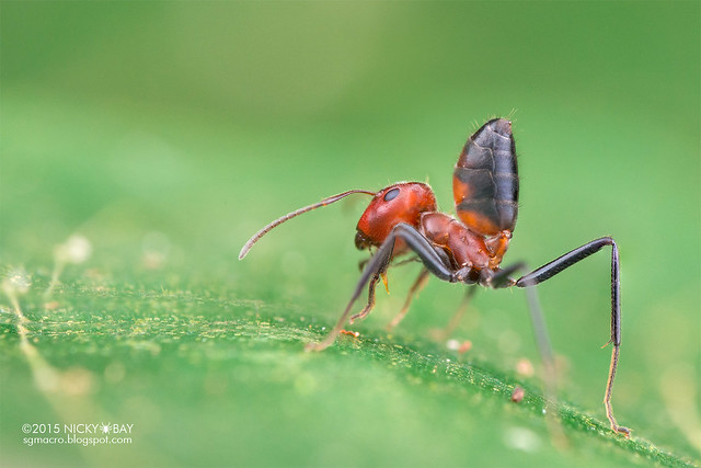 Ant (Calomyrmex sp.) - DSC_5561