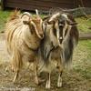 Ina's goats.jpg