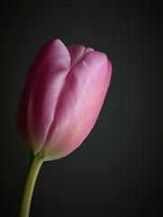 Still Life Flower. Pink Tulip