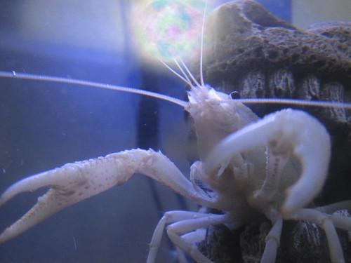 Lobster Magic