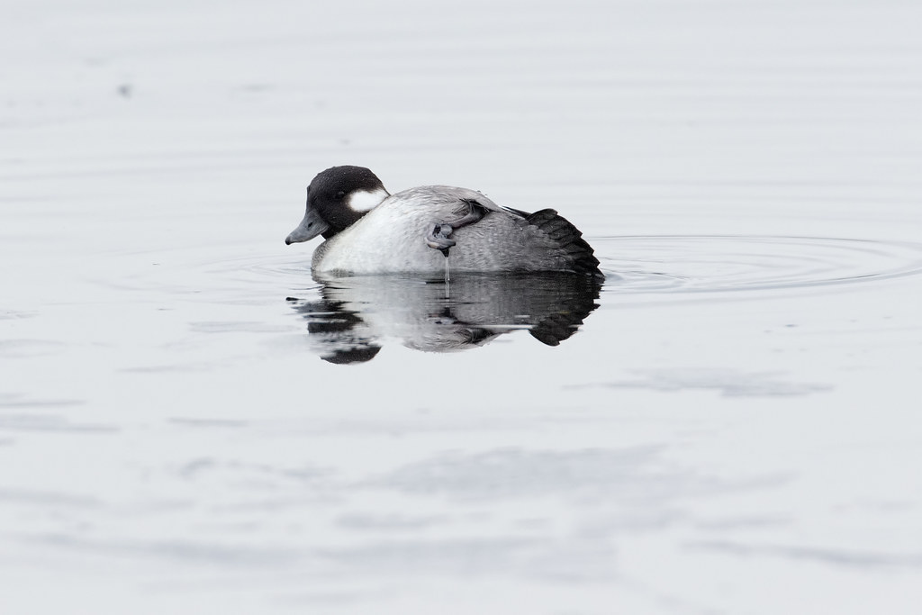 A bufflehead leans to one side as she preens as the ice melts on a thawing Horse Lake