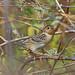 Grasshopper Sparrow, Tehuantepec, Oaxaca, Mexico por Terathopius
