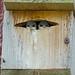 Violet-green Swallows by Dunbar Gardens
